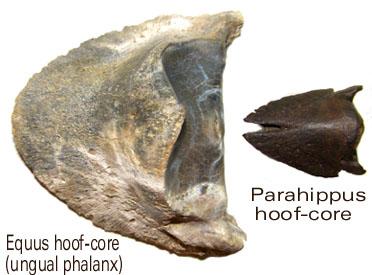 Equus & Parahippus unguals