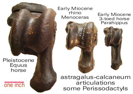 perissodactyl anklebones