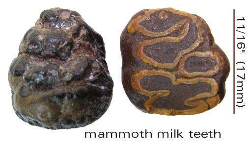 mammothmilkteeth.jpg