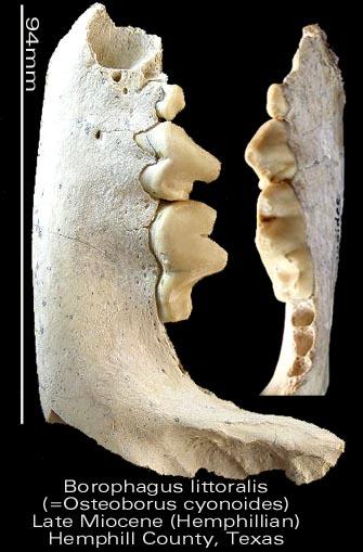 Borophagus littoralis