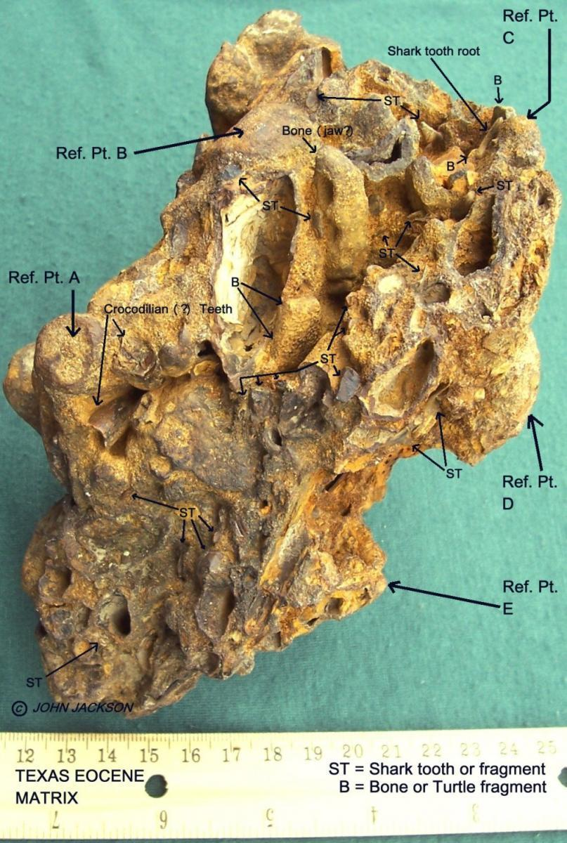 Texas Eocene Shark tooth Matrix