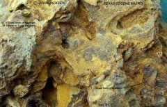 Texas Eocene Shark tooth Matrix