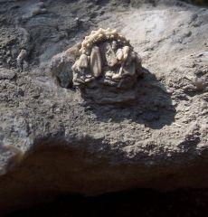 Goniopygus budaensis w/spines
