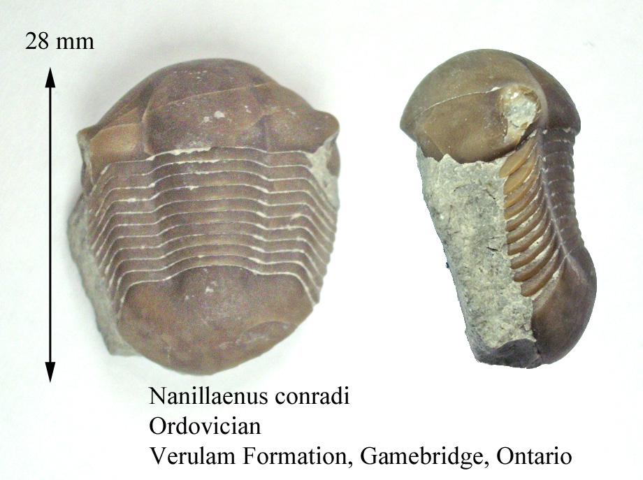 Nanillaenus conradi