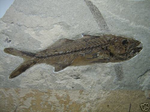 Carangopsis dorsalis