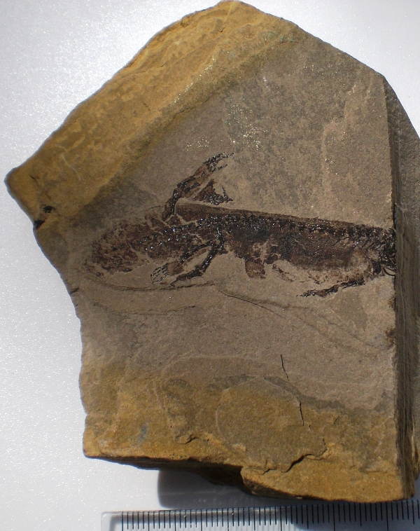 Apateon pedestris Lower Permian Tiefenthal Germany