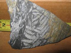 Unidentified fern 2 negative