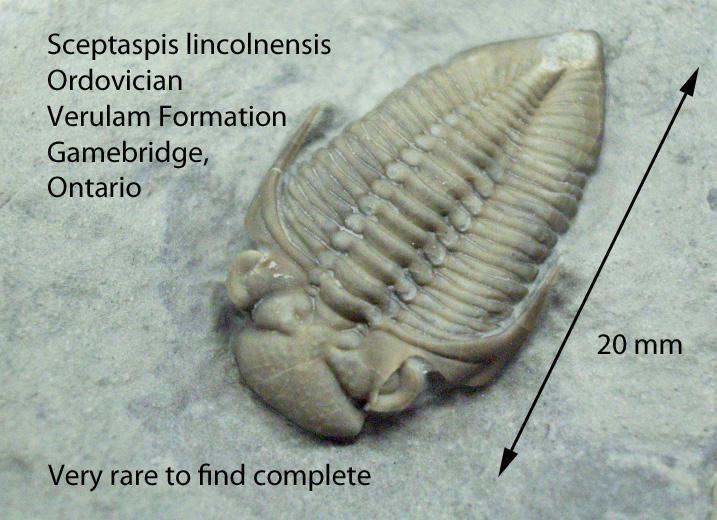 Sceptaspis lincolnensis