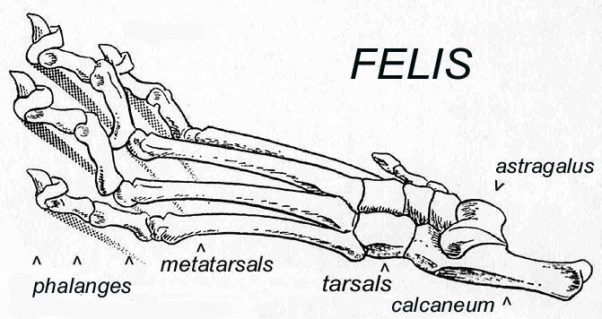 Felis Foot Bones