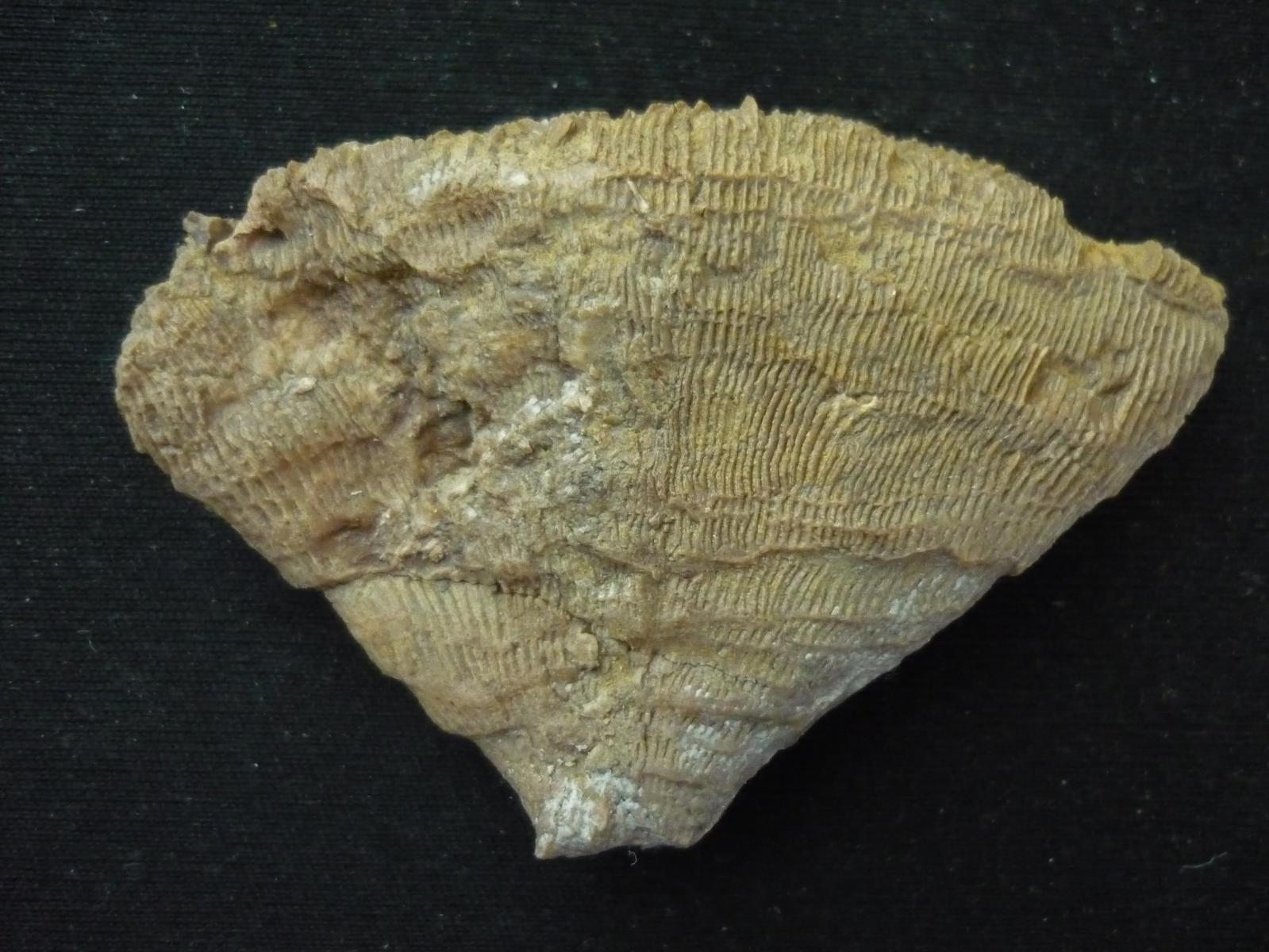 Phyllosmilia didymorphila (Felix)