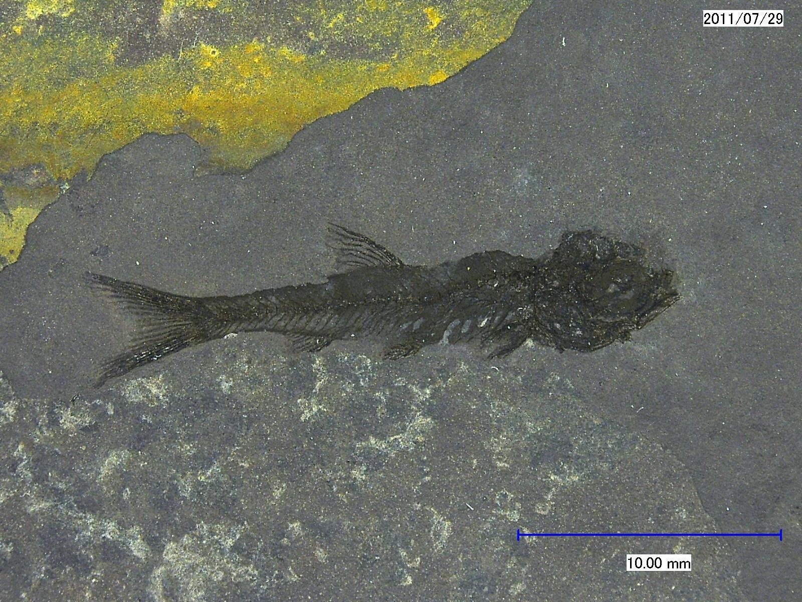 Palaeoleuciscus dietrichsbergensis