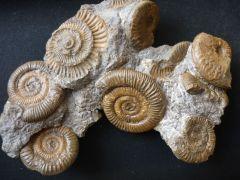 Dactylioceras athleticum (Simpson 1855) & Harpoceras ? (Maconiceras) soloniasense (Lissajous 1906)