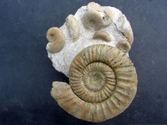 Orthosphinctes (Orthosphinctes) polygratus (Reinecke 1818)  with Glochiceras (Lingulaticeras) lingulatum (Quenstedt 1858)