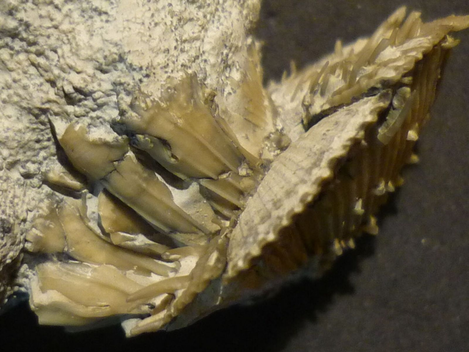 German Gastropods and Bivalves