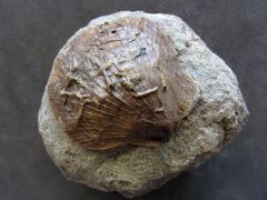 Eopecten abjectus (Phillips 1829)
