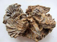 Actinostreon marshii (Sowerby 1814)