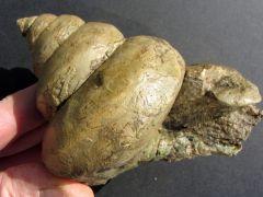 Bathrotomaria babeauana (D'Orbigny 1856)