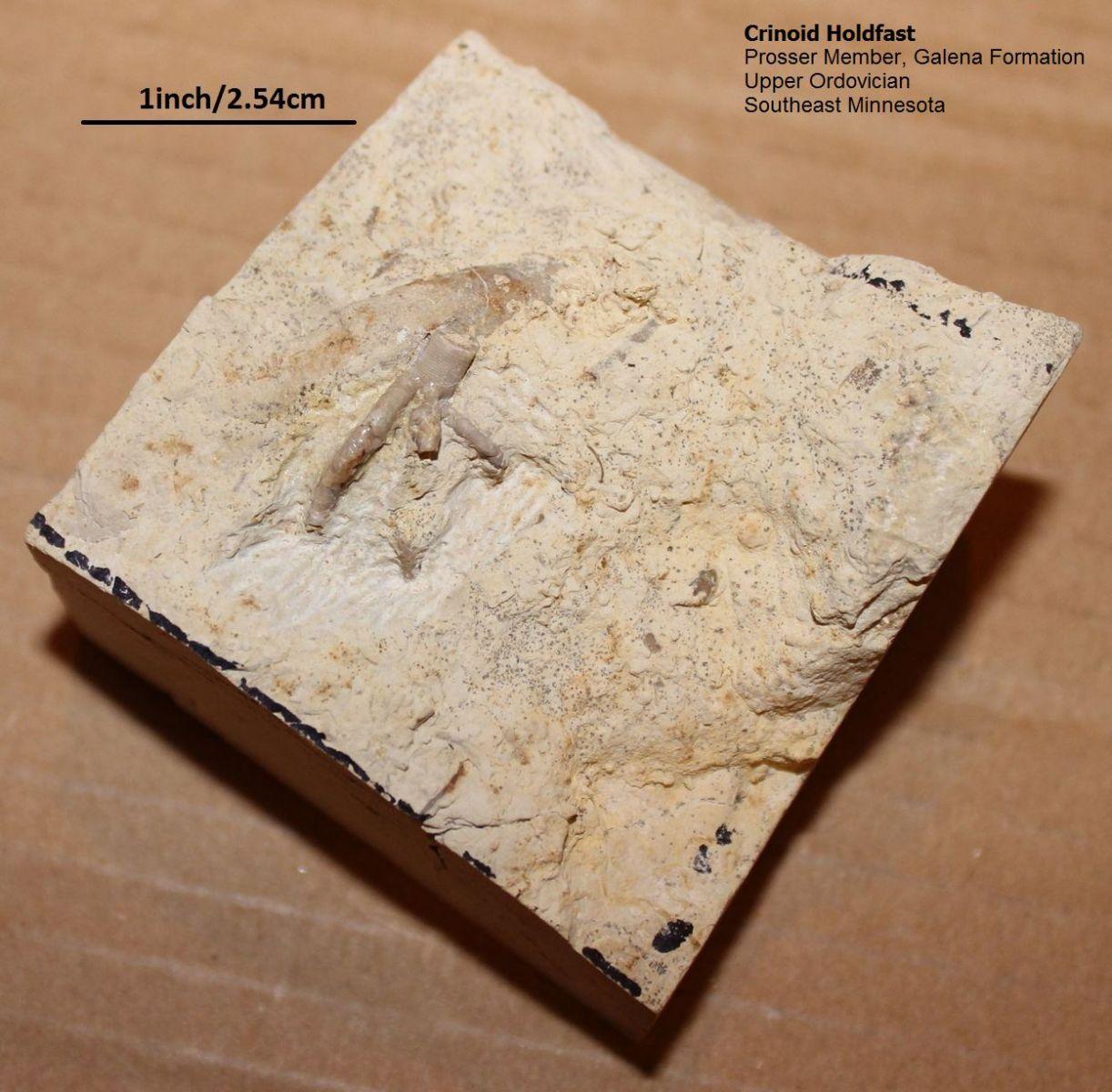 Crinoid Holdfast