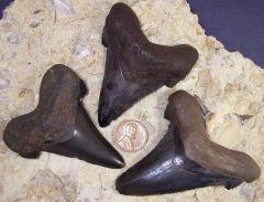 Auriculatus Teeth from the Suwannee River
