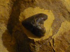 Rhyncholite