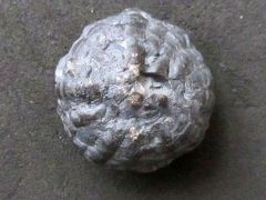 Pleurodictyum americanum 2