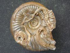 Mucroserpula sp. (Regenhardt 1961)
