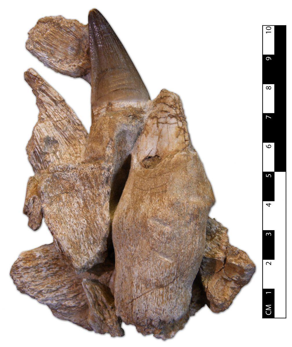 Prognathodon sp. Jaw Fragments