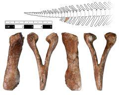 Edmontosaurus annectens Chervon