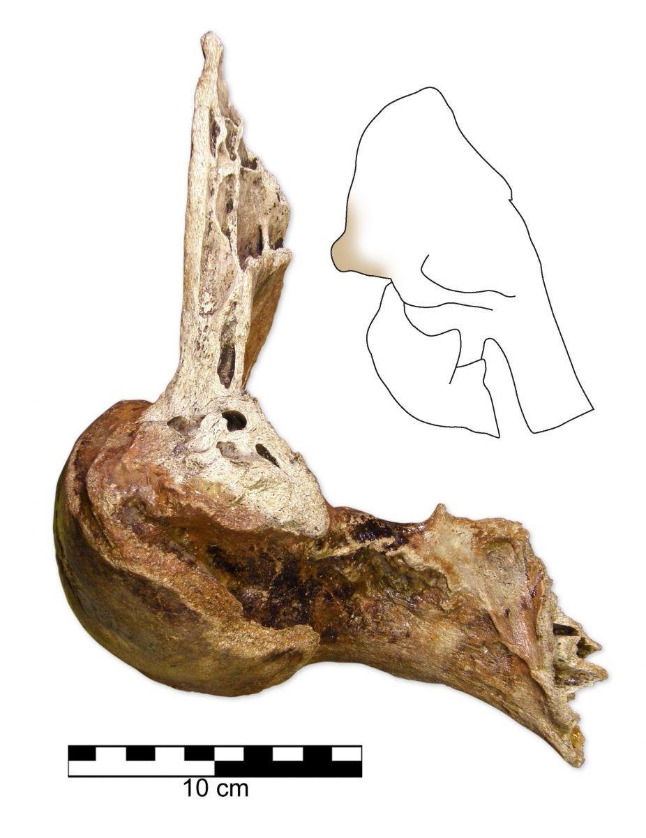 Mammuthus primigenius skull joint