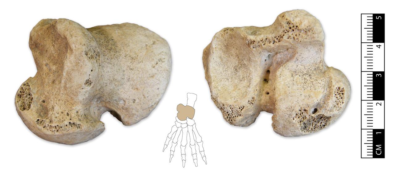 Ursus spelaeus astragalus