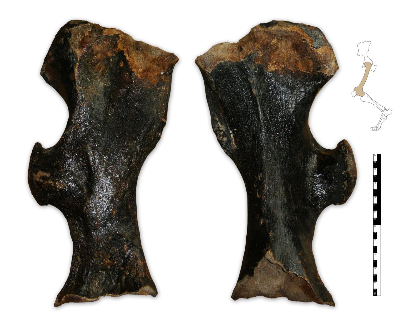 Coelodonta antiquitatis femur