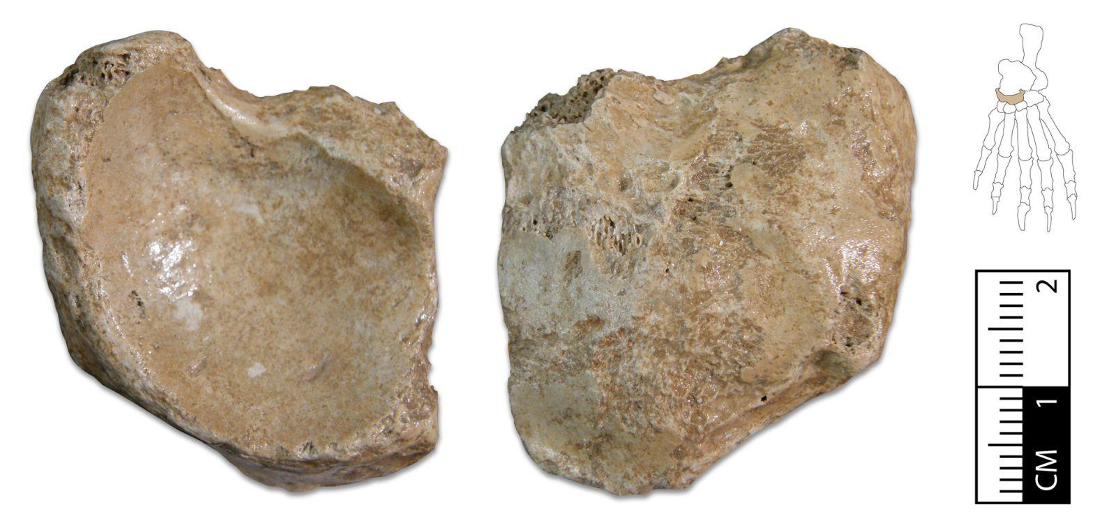 Ursus spelaeus footbone