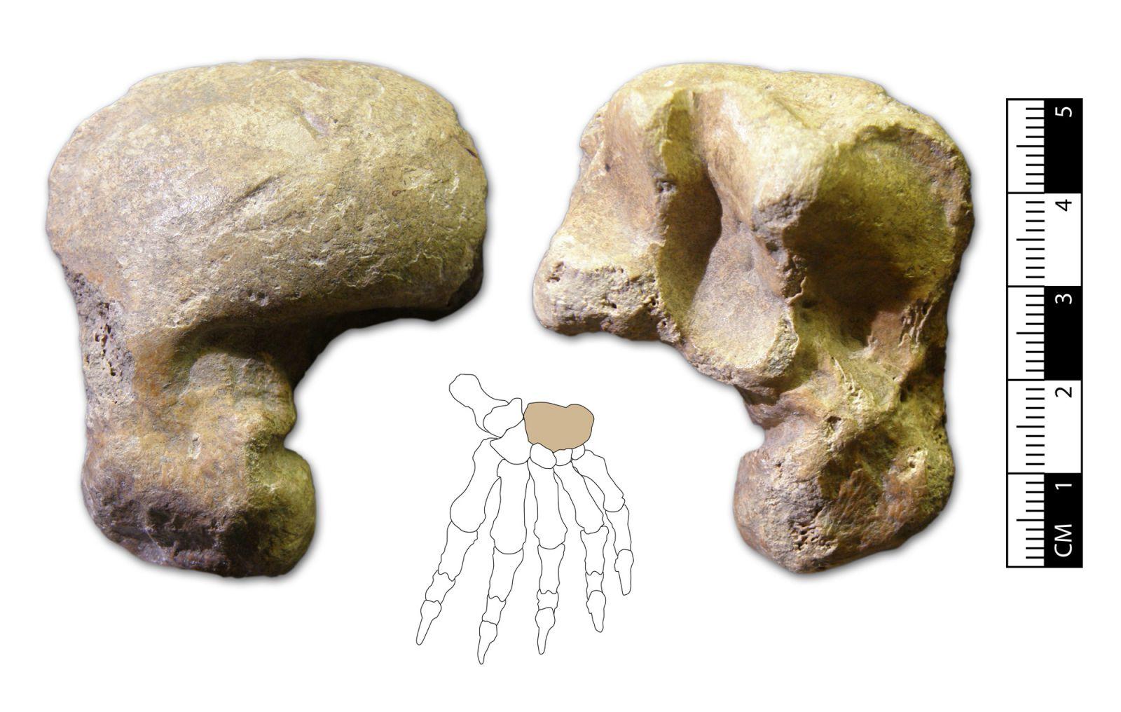 Ursus spelaeus hand bone