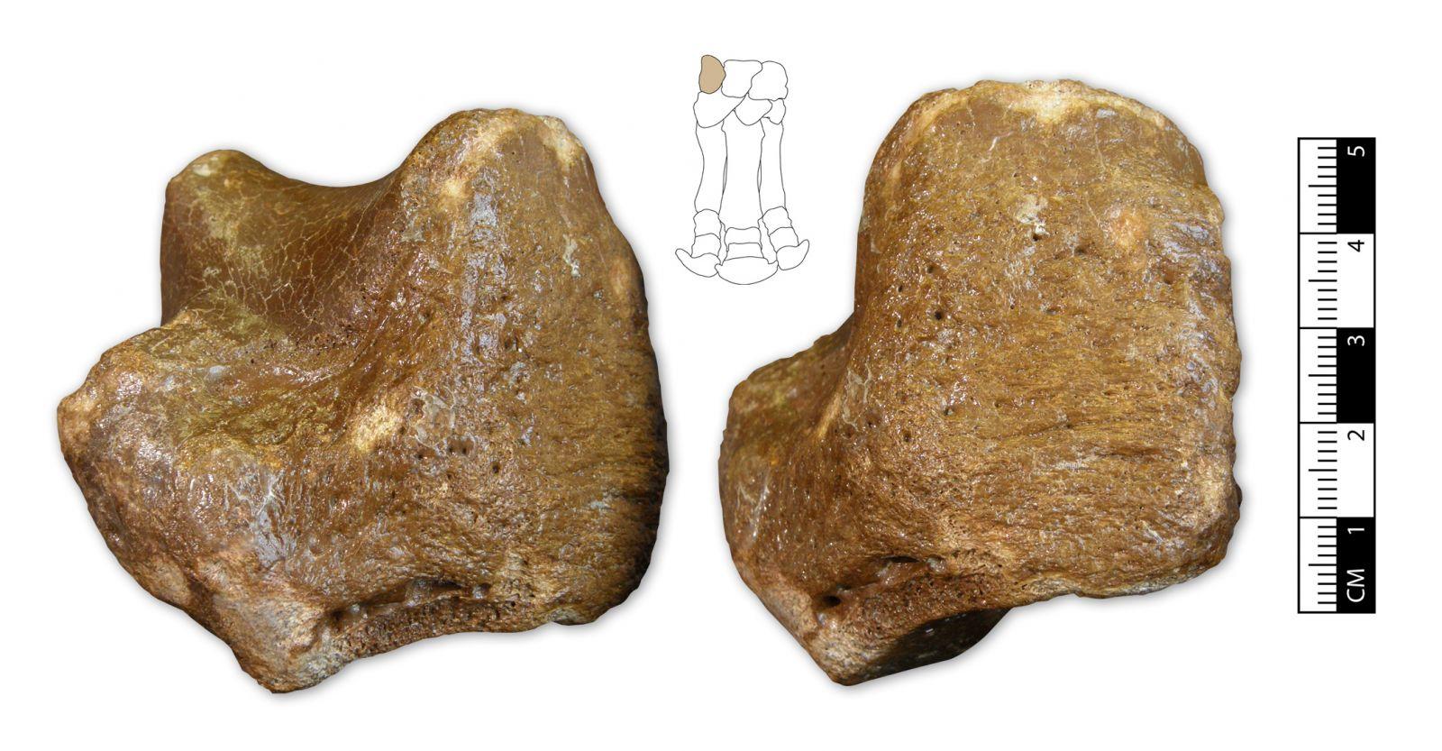 Coelodonta antiquitatis footbone