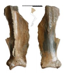 Mammuthus primigenius shoulderblade