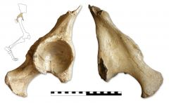Coelodonta antiquitatis hip fragment