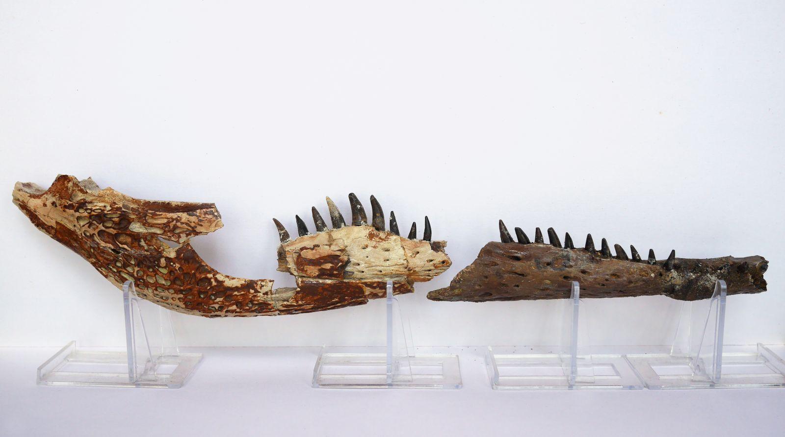 Hell Creek Crocodile Jaw (composite)
