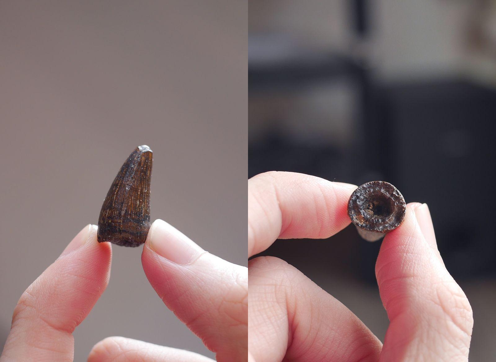 Juvenile Deinosuchus tooth