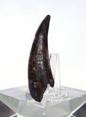 Crocodile Tooth (cf. Elosuchus sp.)