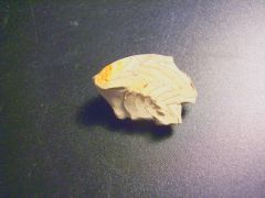 Gonioloboceras Fragment, Graham Fm (Finis Shale), Pennsylvanian, Jack Co., Texas