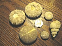 Fossil Assemblage, Kcw Site 2, Callahan Co., Tx (Aboral)