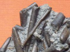 Acrocoelites (Acrocoelites) gracilis (Hehl in Zieten) ?