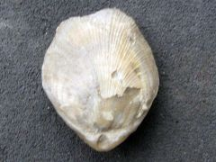 Terebratulina ?substriata (Schlotheim 1820)