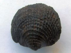 Spinatrypa spinosa (Hall 1843)