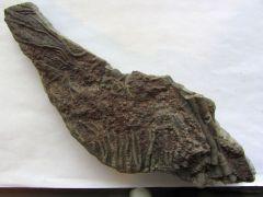 Scyphocrinus elegans (Zenker 1833)