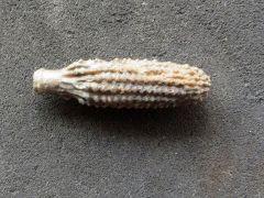 Rabdocidaris sp. (Desor 1855)