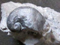 Platyceras sp. (Conrad 1840)