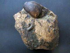 Plagiostoma sp. (Sowerby 1814)