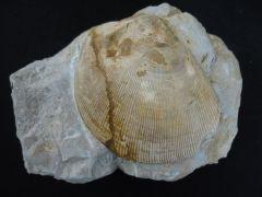 Plagiostoma gigantea (Sowerby 1814)