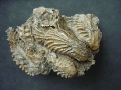 Rastellum erucum (DeFrance 1833)